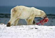 关注哥本哈根气候大会:全球变暖导致北极熊同类相残