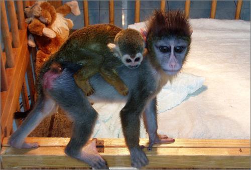 上海野生动物园首次人工喂养松鼠猴成功