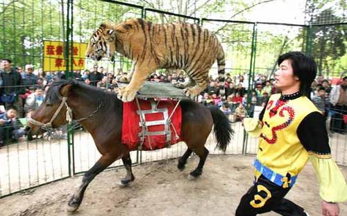 老虎狮子表演