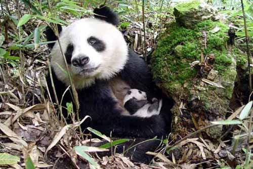 可爱  近日,记者在再次探访秦岭佛坪大熊猫自然保护